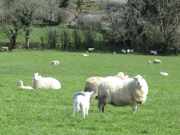 March: Preseli Lambs